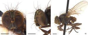 Drepanocnemis hirticepsStein, 1911, male lectotype: (1) head, anterior view&#59; (2) head, lateral view&#59; (3) lateral view. Scale: 0.5mm.