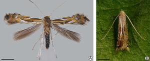 Adult of Phyllocnistis hemera, dorsal view: (A) wings spread, pinned and dried (LMCI 306-47); (B) wings folded, on Daphnopsis fasciculata leaf surface. Scale bars: 1mm.