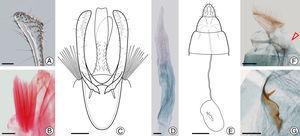 P. hemera genitalia under light microscopy: (A–D) male genitalia&#59; (E–G) female genitalia. (A) apex of left valva, mesal view (LMCI 319-69)&#59; (B) left corema, ventral (LMCI 306-26)&#59; (C) male genitalia, ventral&#59; (D) aedeagus, lateral (LMCI 306-36)&#59; (E) female genitalia, ventral&#59; (F) female last abdominal segments, lateral (LMCI 306-49) with the ostium bursae indicated by arrow&#59; (G) signum in detail, ventral (LMCI 306-49). Scale bars: 50 (A, B, D), 100 (C, F, G), 400μm (E).