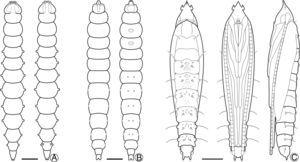 Larval and pupal morphology of P. hemera under light microscopy: (A) sap-feeding larva, dorsal and ventral views&#59; (B) spinning larva, dorsal and ventral&#59; (C) pupa, dorsal, ventral and lateral, respectively. Scale bars: 500μm.