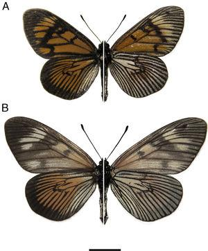 Holotype male (A) and allotype female (B) of Actinote mantiqueira sp. nov. (left=dorsal; right=ventral). Scale bar=10mm.