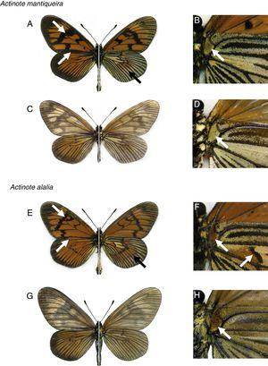 Comparative plate showing the main differences in wing pattern between Actinote mantiqueira sp. nov. and Actinote alalia. (A) Male paratype of A. mantiqueira sp. nov. (dorsal left, ventral right); (B) detail of humeral region in male VHW; (C) female paratype of A. mantiqueira sp. nov. (dorsal left, ventral right); (D) detail of humeral region in female VHW; (E) male of A. alalia (dorsal left, ventral right); (F) detail of humeral region in male VHW; (G) female of A. alalia (dorsal left, ventral right); (H) detail of humeral region in female VHW.