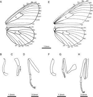 Morphological characters of males (A–D) and females (E–H) of Actinote mantiqueira sp. nov. (A) Wing venation; (B) Palpus; (C) Foreleg; (D) Midleg; (E) Wing venation; (F) Palpus; (G) Foreleg; (H) Midleg.