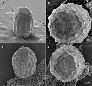 Eggs of Actinote mantiqueira sp. nov. (A – lateral view, B – dorsal view) and Actinote alalia (C – lateral view, D – dorsal view) in scanning electron microscopy.