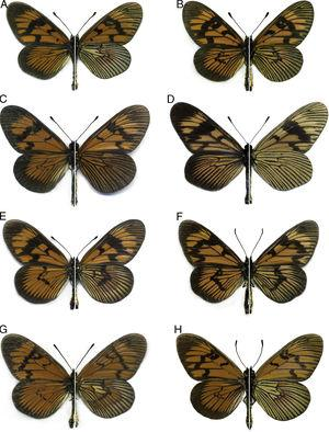"Comparative plate showing all known Brazilian species of Actinote belonging to the ""orangish red mimicry complex"", dorsal left and ventral right (males only). (A) Actinote mantiqueira sp. nov. (paratype), (B) Actinote bonita, (C) Actinote conspicua, (D) Actinote quadra, (E) Actinote dalmeidai, (F) Actinote surima, (G) Actinote alalia, (H) Actinote catarina."