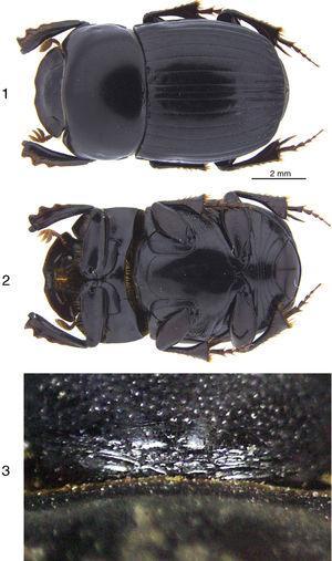 Ateuchus tuza sp. nov.&#59; 1, dorsal habitus of holotype&#59; 2, ventral habitus of holotype&#59; 3, wrinkled area at the base of the head of a male.