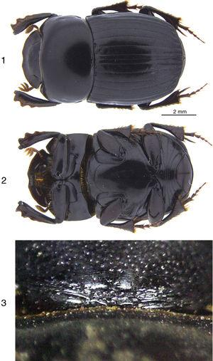 Ateuchus tuza sp. nov.; 1, dorsal habitus of holotype; 2, ventral habitus of holotype; 3, wrinkled area at the base of the head of a male.