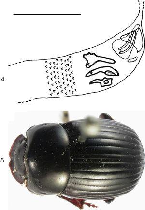 A. tuza sp. nov.&#59; 4, drawing of the internal sac, line equals 1mm&#59; 5, A. hornai (Balthasar, 1939), dorsal habitus of the female holotype.