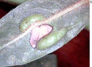 Galls of Lopesia indaiensis, sp. n., on leaf of Andira fraxinifolia Benth (Fabaceae), general aspect.