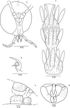 Lopesia indaiensis, sp. n. 6. Male head (frontal view). 7. Male flagellomere 5. 8. Male hindleg, tarsal claw and empodium. 9. Male abdominal segments 7–8 (lateral view). 10. Male terminalia (dorsal view). Scale bars in mm.