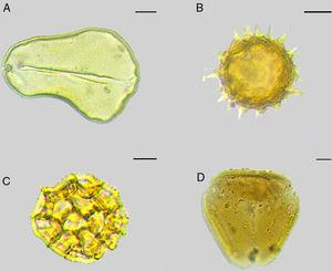 Main pollen types identified on Megachile slides from larvae feces: (A) type Attalea sp.&#59; (B) type Tilesia sp.&#59; (C) type Lepidaploa sp.&#59; (D) type Myrcia sp. Scale bar of figures A - C 10μm&#59; figure D: 20μm.