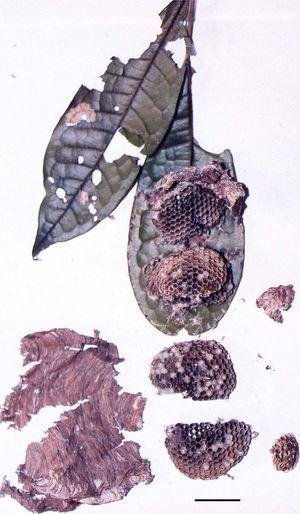 Nest of P. langi from RESEX Cajari&#59; scale: 2cm.