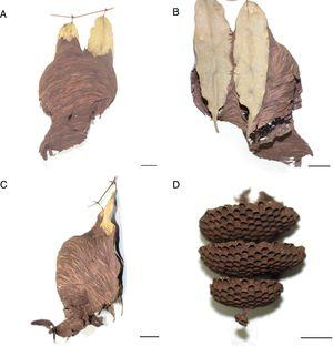 Nest of P. langi from FLONA-Amapá, showing the envelope A and C&#59; substrate B&#59; and combs D&#59; scales=1cm.