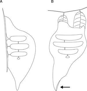 Nest scheme of P. langi from FLONA-Amapá. A – lateral view&#59; B – frontal view&#59; arrow: nest entrance.