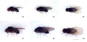 Drosophila peixotoi sp. nov., type specimens: (34–36) male holotype, left lateral, oblique dorsal and dorsal views, respectively&#59; (37–39) female paratype, left lateral, oblique dorsal and dorsal views, respectively. Scale bar=1mm.