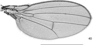 Drosophila peixotoi sp. nov.: male paratype, right wing, dorsal view. Scale bar=1mm.