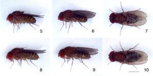 Drosophila asymmetrica sp. nov., type specimens: (5–7) male paratype, left lateral, oblique dorsal and dorsal views, respectively&#59; (8–10) female paratype, left lateral, oblique dorsal and dorsal views, respectively. Scale bar=1mm.