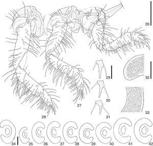 Cyclocephala melanocephala, third instar larva; 26–28, right legs and pleurites (anterior, medial, posterior); 29–31, right pro-, meso- and metapretarsus, dorsal; 32–33, detail of perforations of mesothoracic spiracle (dorsal arm, medial area); 34–42, mesothoracic spiracle and abdominal spiracles I–VIII. Scale, Fig. 26=0.3mm; Figs. 29, 34=0.1mm; Fig. 32=0.05mm.