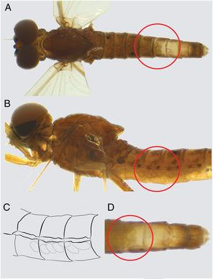 Imago 1 of Farrodes xingu: (A) dorsal view, red circle showing the eggs on abdomen; (B) lateral view, red circle showing the eggs on abdomen; (C) segments II–IV with mass of eggs; (D) segments VI–X, red circle showing the mass of eggs and the malformed genitalia (ventral view).