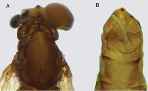 Imago 2 of Farrodes xingu: (A) dorsal view, left side female head and the right side male head; (B) malformed genitalia.