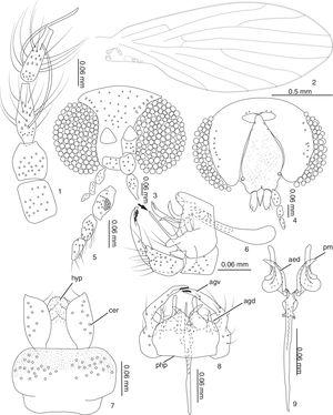 1–9 Trichomyia pseudoannae sp. nov. 1. Scape, pedicel and flagellomeres 1 and 2; 2. Right wing; 3. Head, dorsal view; 4. Head, ventral view; 5. Palpus; 6. Male terminalia, lateral, arrow in projection in the gonocoxal apodeme; 7. Cerci, epandrium, hypoproct; 8. Male terminalia, ventral; 9. Aedeagus and parameres (agv, ventral arm of gonocoxite; agd, dorsal arm of gonocoxite; cer, cercus; aed, aedeagus; hyp, hypoproct; pm, paramere; php, post-hypandrial plate).