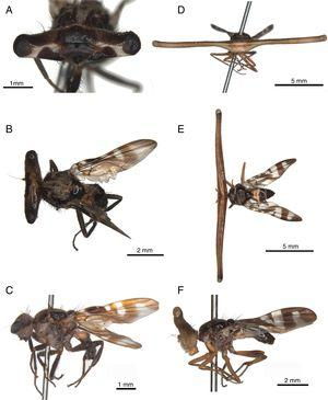 A–C. Plagiocephalus lobularis, male: A. Head in frontal view; B. Body in dorsal view; C. Body in lateral view. D–F. Plagiocephalus latifrons, male: D. Head in frontal view; E. Body in dorsal view; F. Body in lateral view.