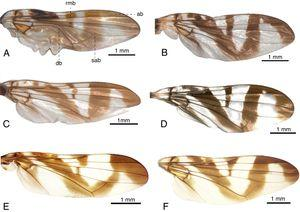 A–B. Plagiocephalus lobularis: A. Male wing; B. Female wing. C–D. Plagiocephalus latifrons: C. Male wing; D. Female wing. E–F. Plagiocephalus intermedius: E. Male wing; F. Female wing. Abbreviations: ab: apical band; db: discal band; sab: subapical band; rmb: radial-medial band.