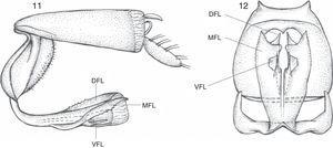 Hanshumba teresa sp. nov., aedeagus and anal tube. 11, lateral view. 12, ventral view. DFL, dorsal flange; MFL, median flange; VFL, ventral flange.