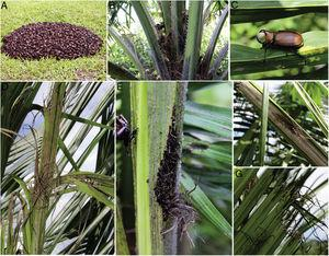 Golofa claviger on oil palm. A – specimens collected in the infested area; B – dead males of G. claviger sheltered on the rachis or stem angles of the young palm; C – adult male lying on a palm leaflet; D – ripped young frond; E and F – wedge-shaped cuts on young, not yet unfurled frond; G – ripped unfurled frond.