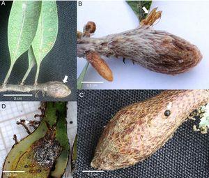 (A) Stem gall on Microgramma squamulosa (arrow); (B) Ecdyse of the microlepidoptera galler that emerged from the gall (arrow); (C) hole left by the exiting galler (arrow); (D) sectioned gall exhibiting ants living inside.