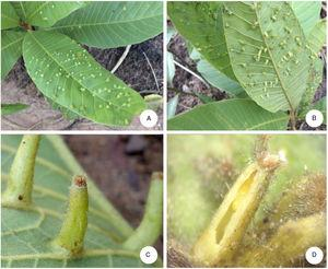 Cylindrical gall, green, one-chambered, with brownish trichomes on leaves of Pouteria torta (Mart.) Radlk. (Sapotaceae). (A) View of the galls on the leave's adaxial side; (B) galls on leaves' abaxial side; (C) detail of the gall; (D) opened gall, showing the inner chamber and a young pupa of Youngomyia matogrossensis Proença & Maia.