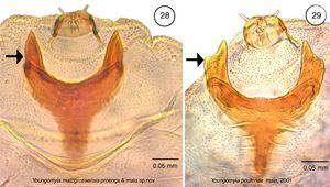 Larval spatula of (28) Youngomyia matogrossensis Proença & Maia; (29) Youngomyia pouteriae Maia, 2001. The arrows show the difference between the larval spatula of both species. An indentation at the external margin of the teeth is only observed in Y. pouteriae.