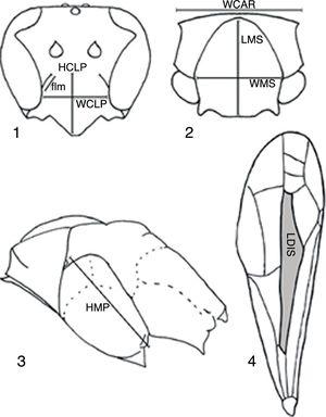 Measurements. (1) Clypeus: height (HCLP) and width (WCLP), and free upper element of lateral margin (flm); (2) pronotal carina width (WCAR), and mesoscutum length (LMS) and width (WMS); (3) mesopleuron height (HMP); (4) front wing discal cell length (LDIS).