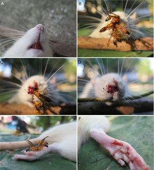 (A) Rattus norvegicus nose before and after the wasps; (B, C) Agelaia pallipes on the nose of a Rattus norvegicus carcass in the fresh stage; (D) Rattus norvegicus nose after wasps; (E) Agelaia pallipes on the foot of a Rattus norvegicus carcass in the fresh stage; (F) Rattus norvegicus foot after wasps. Link 1. Agelaia pallipes on the nose of a Rattus norvegicus carcass in the fresh stage. Link 2. Agelaia pallipes on the foot of a Rattus norvegicus carcass in the fresh stage.