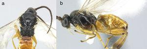 (a) Lateral view of female Cotesia invirae; (b) view of the labrum, mandibles and labial palps; (c) front view of the face; (d) lateral view of the antenna; (e) dorsal view of the mesosoma; (f) dorsal view of abdomen; (g) view of the forewing in situ; (h) details of the spurs of the tibia (inner and outer); (i) larvae of C. invirae; (j) front view of the pupa of C. invirae; (k) dorsal view of pupa of C. invirae; (l) lateral view of the pupa of C. invirae; (m) front view of head, the larvae of C. invirae; (n) view of the cocoons of C. invirae, arranged regularly and secured with silk threads to each other in the form of palisades on the host. Some material here previously reported in Salgado-Neto (2013) as from C. alius.
