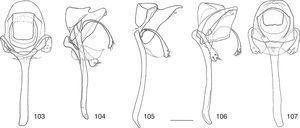 Rhinoleucophenga cantareira sp. nov., male paratype, São Sebastião, SP, Brazil [19–20.III.1986; ZMUZ], five views of aedeagus [protruded], outer paraphyses and aedeagal apodeme, from dorsal through ventral. Scale bar=0.1mm.