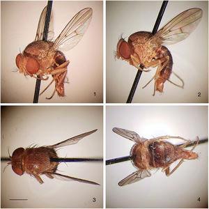 Rhinoleucophenga pallidaHendel, 1917, male non-type specimen, Urubamba river, Meshagua, Peru [08.X.1903; NHW], habitus, four views. 1, oblique dorsal, 2, left lateral, 3, head and thorax dorsal, 4, abdomen dorsal. Scale bar=1mm.