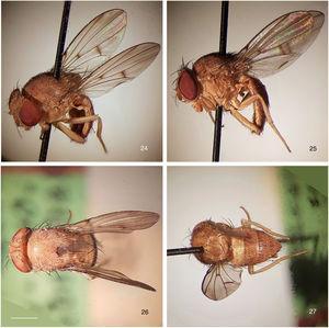 Rhinoleucophenga pallidaHendel, 1917, female holotype, Urubamba river, Meshagua, Peru [02.X.1903; NHW], habitus, four views. 24, oblique dorsal, 25, left lateral, 26, head and thorax dorsal, 27, abdomen dorsal. Scale bar=1mm.