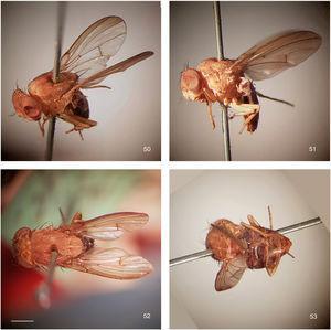 Rhinoleucophenga obesa (Loew, 1872), female paralectotype, Texas, USA [MCZ], habitus, four views. 50, oblique dorsal, 51, left lateral, 52, head and thorax dorsal, 53, abdomen dorsal. Scale bar=1mm.