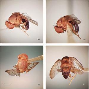 Rhinoleucophenga obesa (Loew, 1872), female paratype of junior synonym Phortica hirtifrons, Crescent City, Florida, USA [IV.1908; MCZ], habitus, four views. 54, oblique dorsal, 55, left lateral, 56, head and thorax dorsal, 57, abdomen dorsal. Scale bar=1mm.