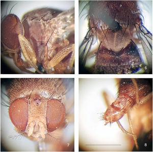 Rhinoleucophenga pallidaHendel, 1917, male non-type specimen, Urubamba river, Meshagua, Peru [08.X.1903; NHW], habitus, four close-ups. 5, left katepisternum, lateral view, 6, scutellum, dorsal, 7, head, frontodorsal, 8, terminalia, oblique dorsal. Scale bar=1mm.