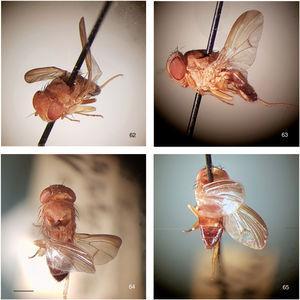 Rhinoleucophenga obesa (Loew, 1872), female non-type specimen, Orlando, Florida, USA, [IV.1929; MCZ], habitus, four views. 62, oblique dorsal, 63, left lateral, 64, head and thorax, 65, abdomen. Scale bar=1mm.