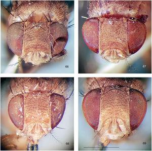 Rhinoleucophenga obesa (Loew, 1872), close-ups of four female specimens, head, frontodorsal view. 66, paralectotype, Texas, USA [MCZ]; 67, paratype of junior synonym Phortica hirtifrons, Crescent City, Florida, USA [IV.1908; MCZ], 68, non-type specimen, Myrtle Beach, South Carolina, USA [23.VI.1943; MCZ], 69, non-type specimen, Orlando, Florida, USA, [IV.1929; MCZ]. Scale bar=1mm.
