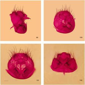 Rhinoleucophenga cantareira sp. nov., male paratype, São Sebastião, SP, Brazil [19–20.III.1986; ZMUZ], four views of terminalia and sternite 7+8 [fused to each other?]. 99, left lateral, 100, oblique posterior, 101, posterior, 102, ventral. Scale bar=0.1mm.