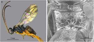 Cotesia scotticomb. nov. 3, habitus, lateral; 4, detail of metanotum and propodeum.
