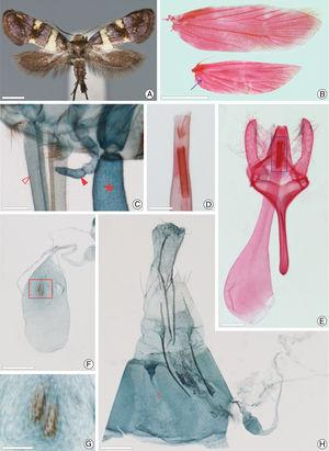 Adult morphology of Antispastis clarkei: A, pinned-dried adult female, dorsal view; B, fore and hind wings, respectively, dorsal (seta points to fused A1+2 on hind wing); C, mouth parts, antero-dorsal (open and closed arrows indicate proboscis and maxillary palpus, respectively; asterisk marks labial palpus); D, vesica in detail, ventral (area marked with rectangle in E); E, male genitalia, ventral; F, corpus bursae, ventral; G, signum in detail (area marked with rectangle in F); H, female genitalia, ventral (open arrow points to missing distal portion of ductus bursae and corpus bursae, broken off during preparation). Scale bars=1mm (A, B); 50, 50, 100, 200, 100, 200μm, from C to H, respectively.