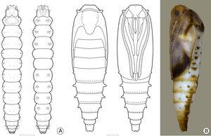 Larval and pupal morphology of Antispastis clarkei under light microscopy: A, last larval instar, under dorsal and ventral views; B, pupa, dorsal, ventral and lateral, respectively. Scale bars=0.5mm.
