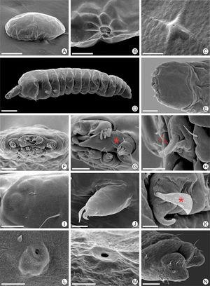 Scanning electron micrographs of Antispastis clarkei egg (A–C) and first larval instar (D–N): A, general view of egg, latero-dorsal; B, micropylar region on anterior pole, lateral; C, aeropyle, dorsal; D, general view of first instar, lateral; E, F, head, dorsal and anterior, respectively; G, detail of mandible, antenna and maxilla, antero-lateral (asterisk indicates corrugated nature of the mandibular base in association with the antennal antocoria); H, labium, antero-lateral (arrow indicates spinneret); I, stemmata, lateral; J, mesothoracic leg, postero-dorsal; K, tarsal claw in detail, mesal (asterisk indicates associated spatulate seta); L, M, prothoracic and third abdominal spiracles lateral; N, last abdominal segments postero-dorsal. Scale bars=150, 15, 5, 100, 50, 30, 15, 10, 10, 10, 5, 10, 5, 20μm, respectively.