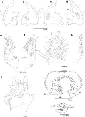 Chlorota paulistana Ohaus, 1912; third larval instar; head appendages. (a–b) Mandibles, dorsal (left, right), (c–d) mandibles, ventral (right, left); (e–f) maxilla (ventral, dorsal), (g) mala, internal, (h) stipes stridulatory teeth detail; (i) labium, dorsal; (j) epipharynx. dto, dexiotorma, (l) detail of the corypha; nsi, sensorial cone; pto, pterotorma; sta, stridulatory area; ucg, uncus.