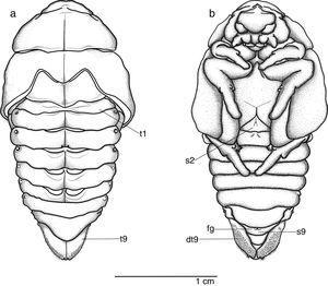 Chlorota paulistana Ohaus, 1912; female pupa. (a) Dorsal, (b) ventral. dt9, ventral part of tergite IX; fg, female genital ampulla; s1–9, abdominal sternite I–IX; t1–9, abdominal tergite I–IX.